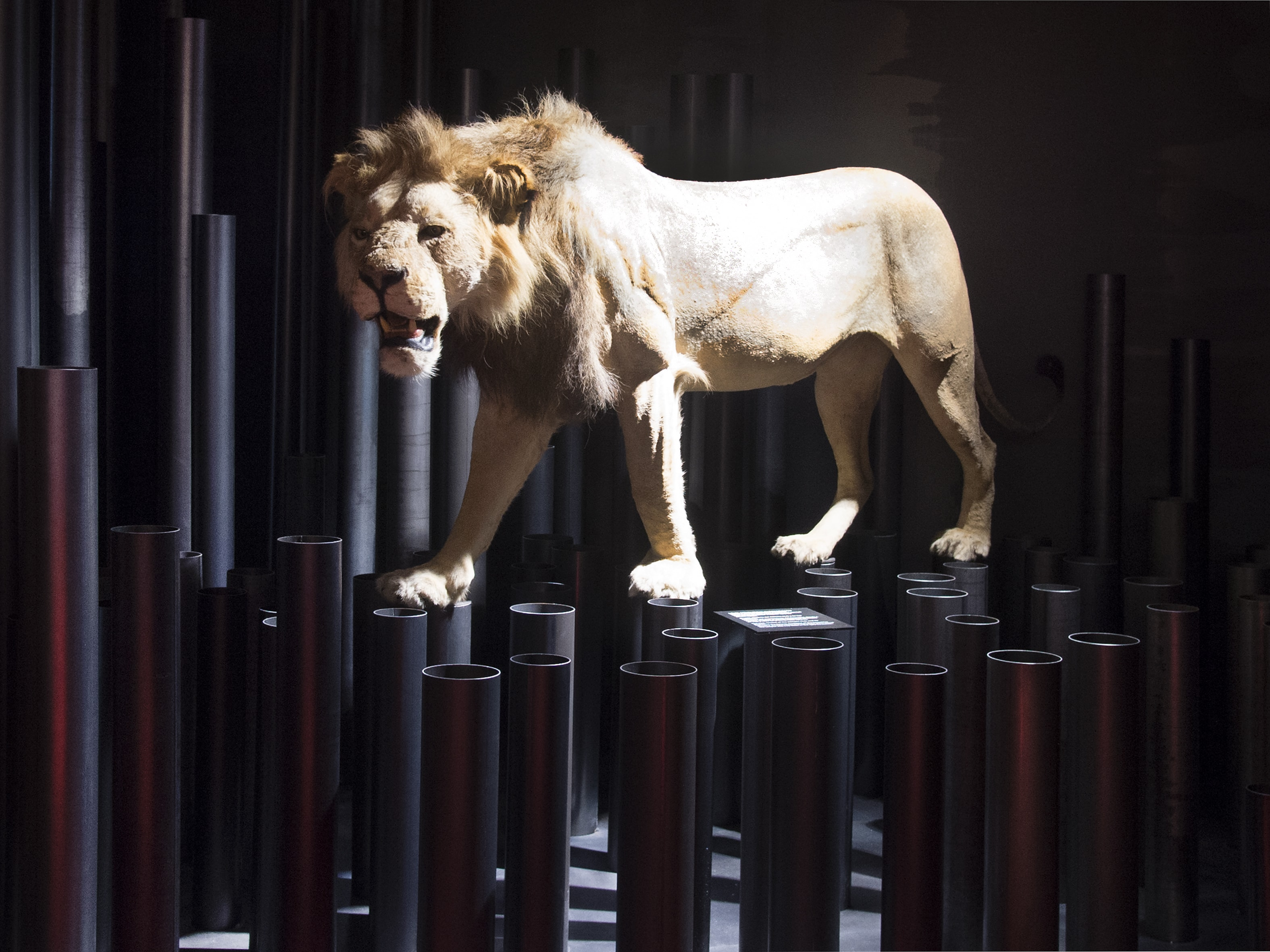 The Museum lion